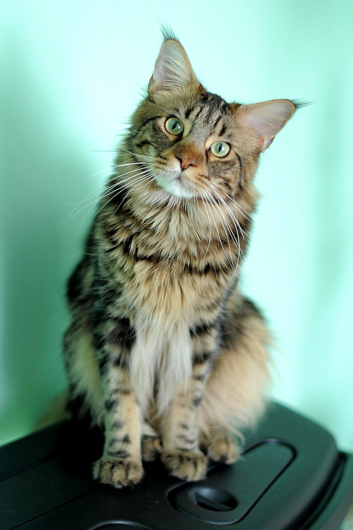 short hair persian cat price