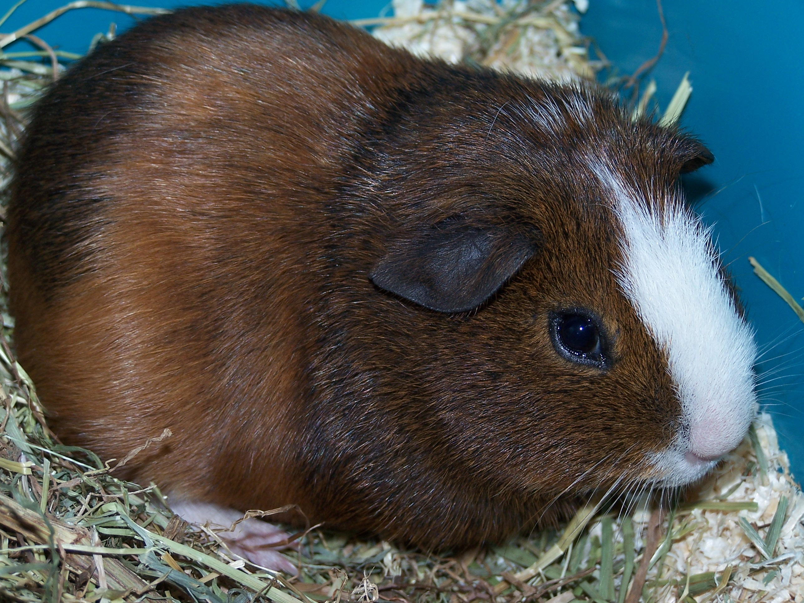 R Guinea Pigs Rodents brown guinea pig