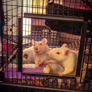 """""""Toby is at work. Rose and Blanche explore the great Rat Diva's cage."""" Taken from Lydia DesRoche's Instagram page, used with permission."""