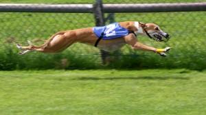 greyhound_racing_2_amk