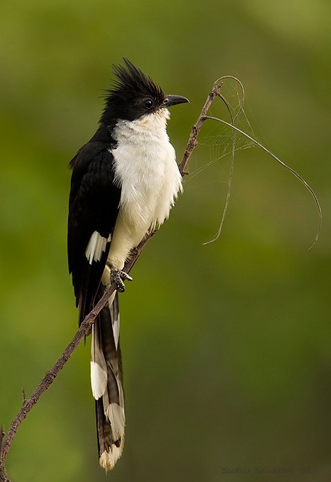 Pied-Crested-Cuckoo