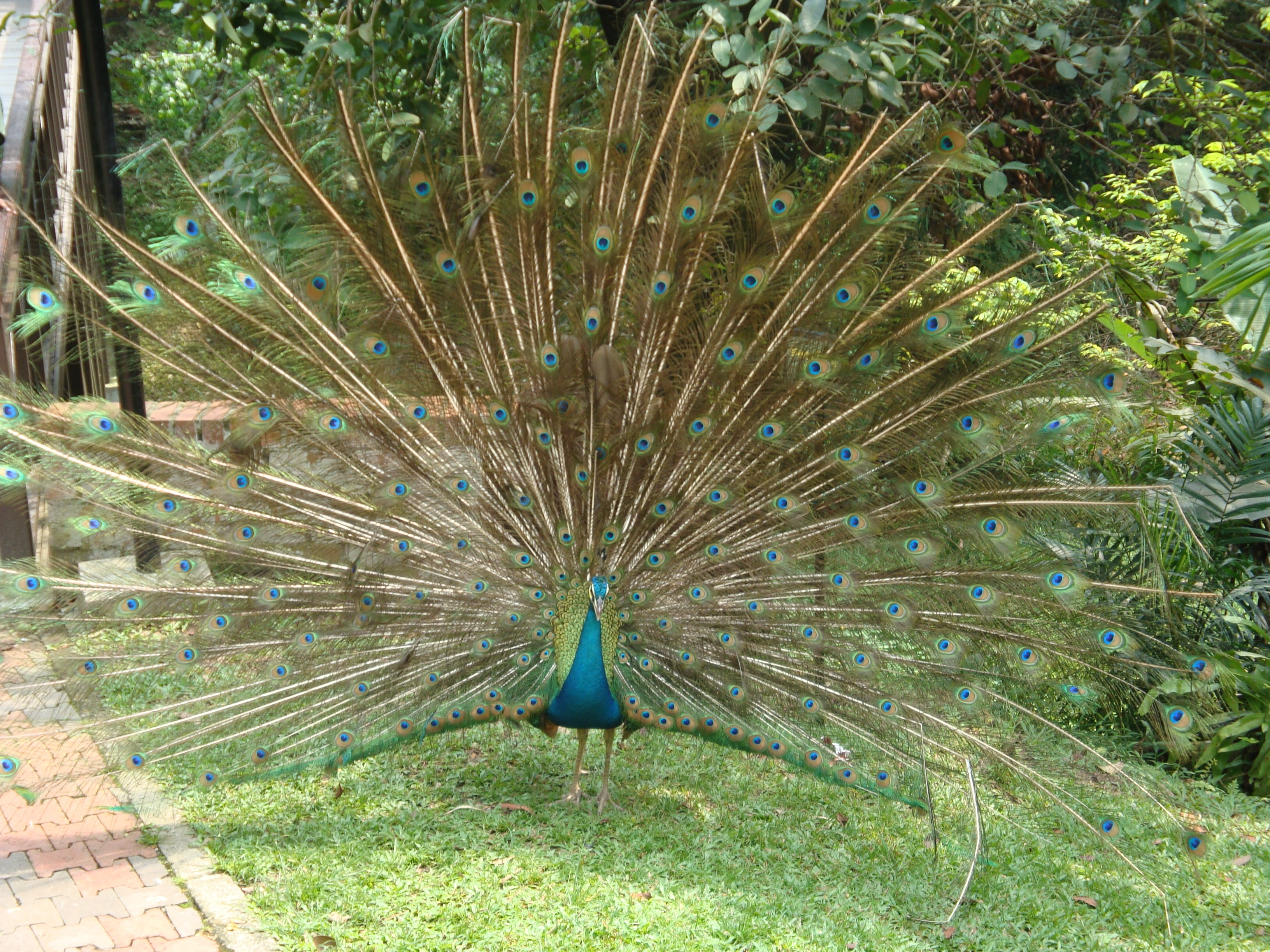 Peacock, tail spread.
