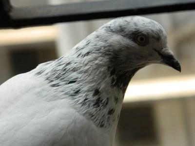 Indian pigeon