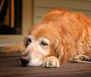 Old-arthritic-dog-Thinkstock-123458602-335lc112912