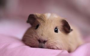 Vet Questions guinea pig