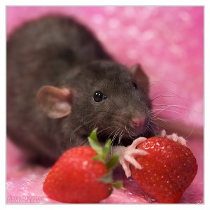 vet questions: rat nutrition