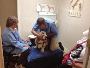 Dog chiropractor Ron Leick adjusts a basset hound.