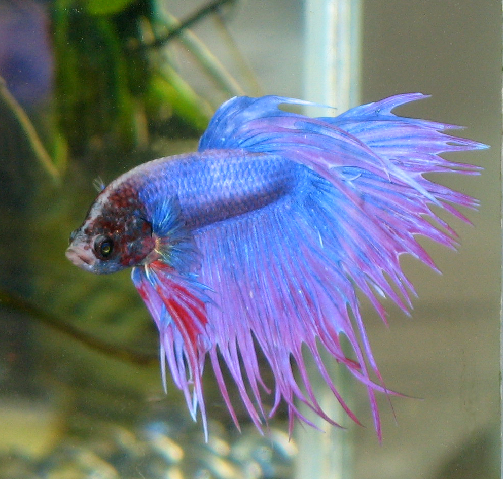 Fish welcome to your pet space for Healthy betta fish