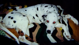 Deanna, dalmation dog