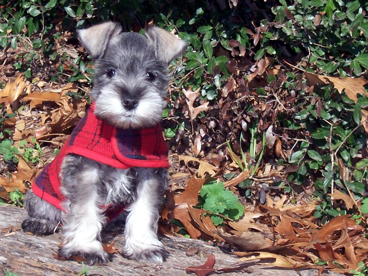 puppy schnauzer