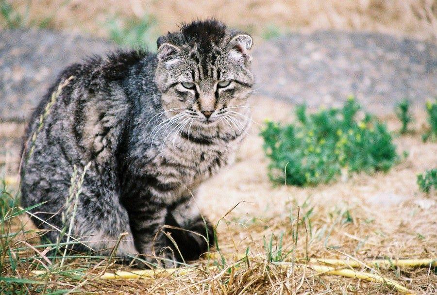 feral cat tough