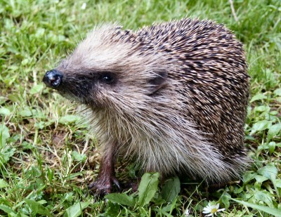 domesticated hedgehog facts