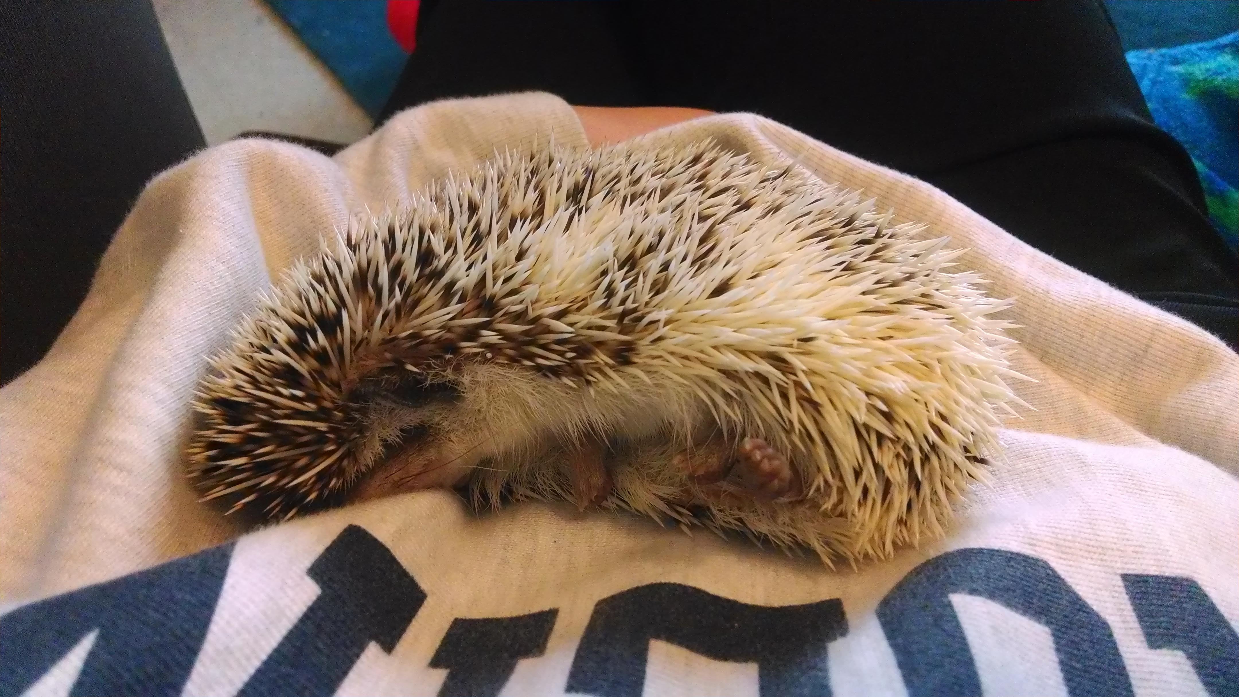 good pets: hedgehog
