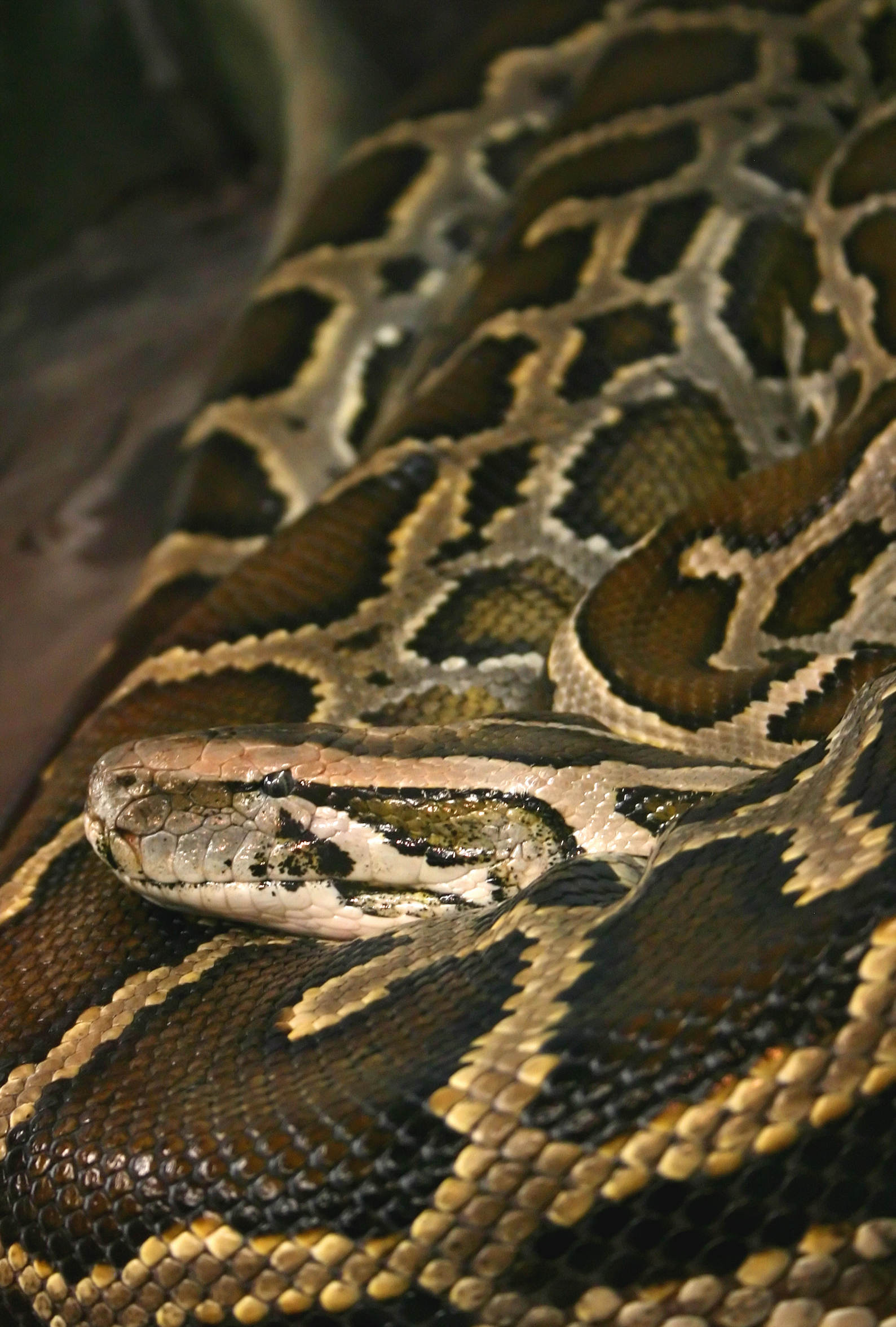burmese python by William Picard