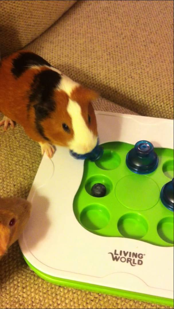 guinea pigs with teach n treat