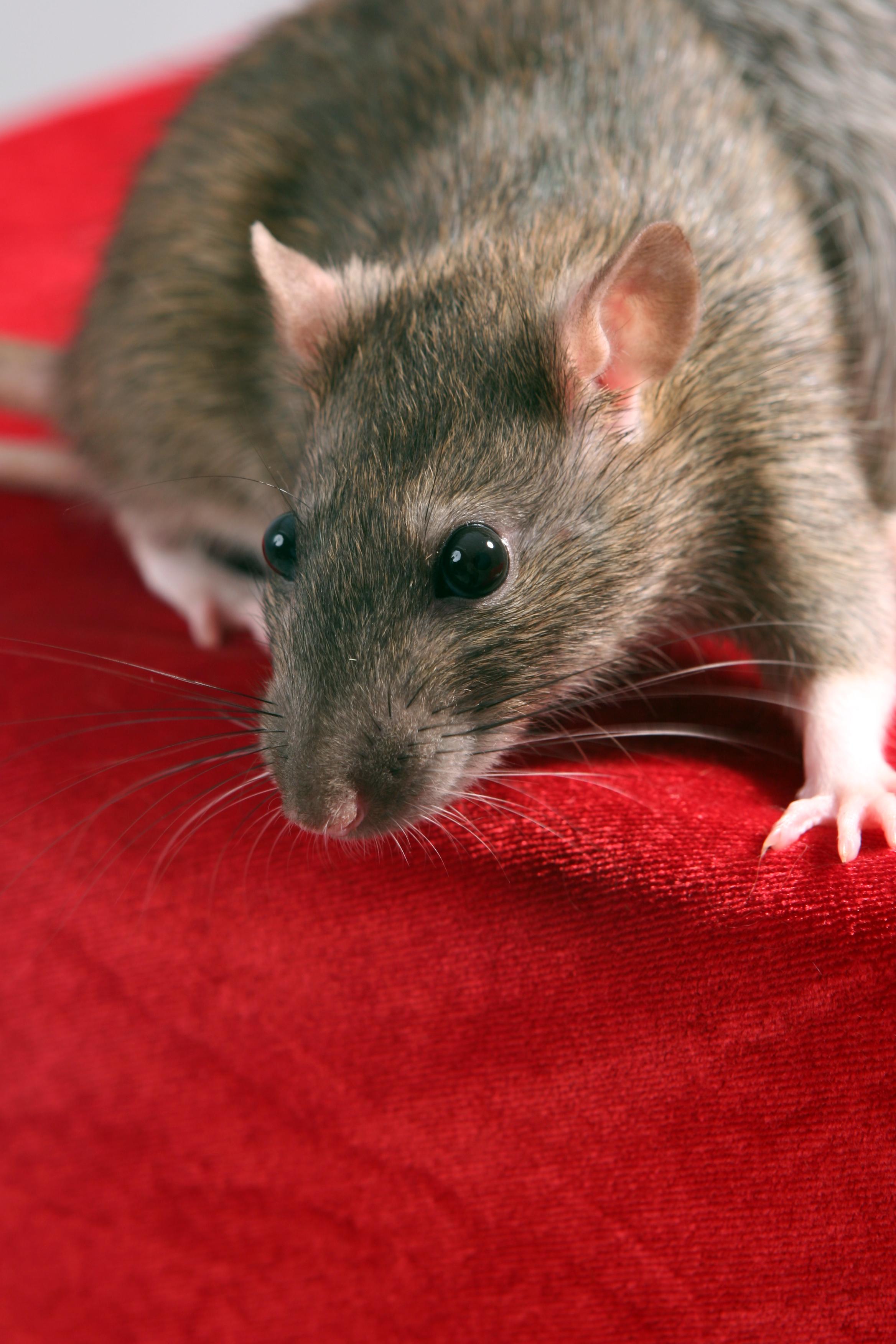 pet rat 3