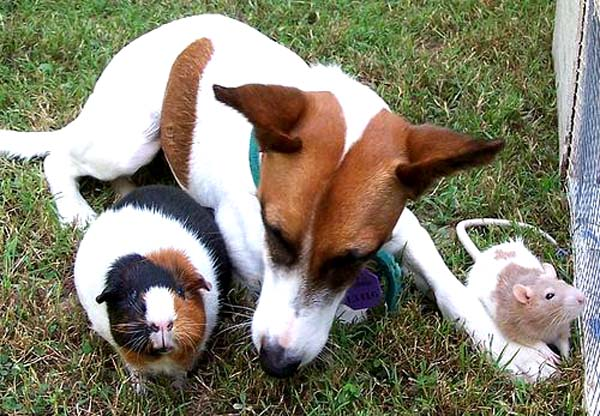guinea pig with dog and rat