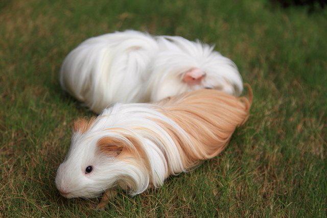 silky guinea pig