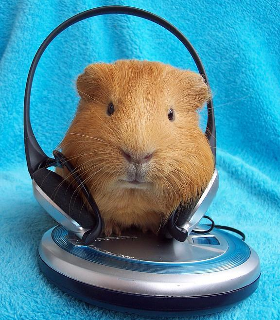 guinea pig with headphones