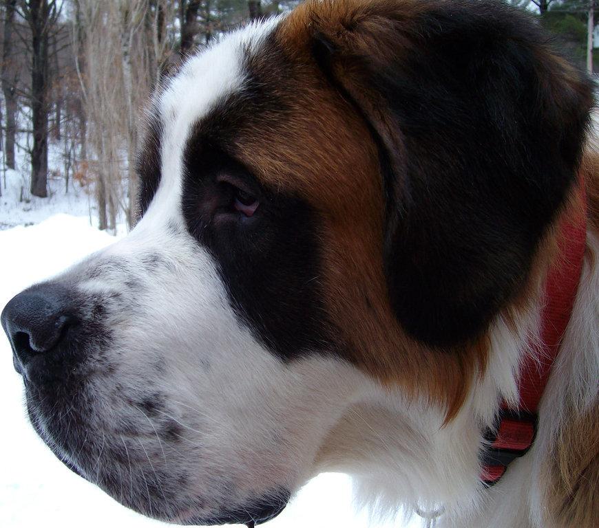 st bernard dog
