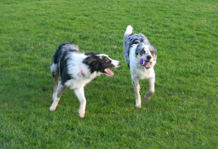 merle border collies