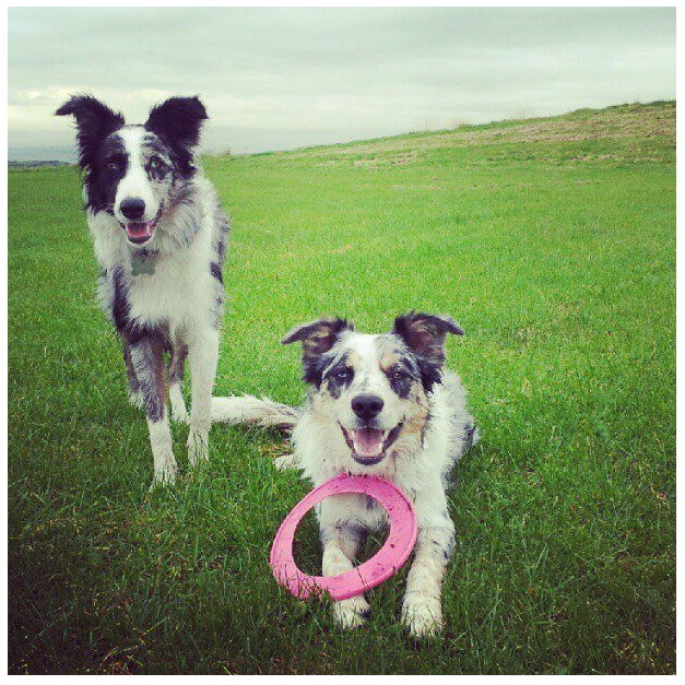 harper and samson the border collies