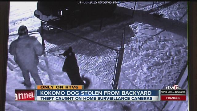 kokomo dog stolen