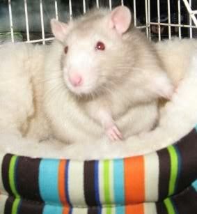 archie the rat