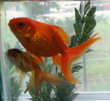 Goldfish Neptune and Pluto