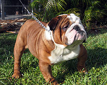 oz bulldog