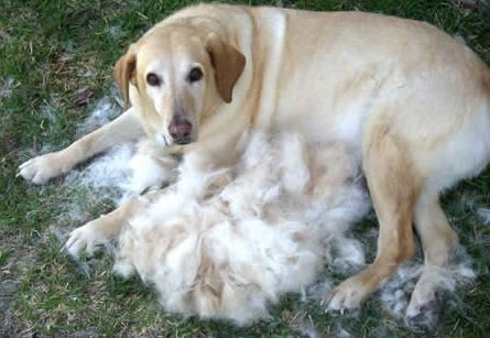 shedding golden