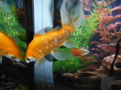 Hydra the goldfish