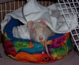 Unlike most female rats, Click preferred not to chew her soft toys and chose to pile as many blankets in her bed as possible, without getting a hole in them. Once they started to fray she would reject them, pushing them to the door of her cage for us to collect.