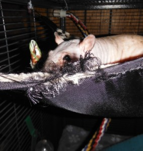 Phobos is looking a little unsure about the frayed edge of his hammock. This toy was reused as a warming blanket, but has been used here to demonstrate the dangers of fraying. A rat's toe could easily be caught in those swirly loops of thread.
