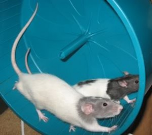 McKay and Keller were two of my rats who loved the wheel and taught their children to do the same. Other rats have decided the same wheel is only good for sleeping in.