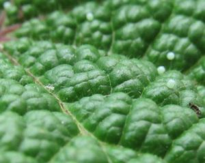 The white-green dots on this Hollyhock leaf are the tiny eggs laid by a Painted Lady butterfly.