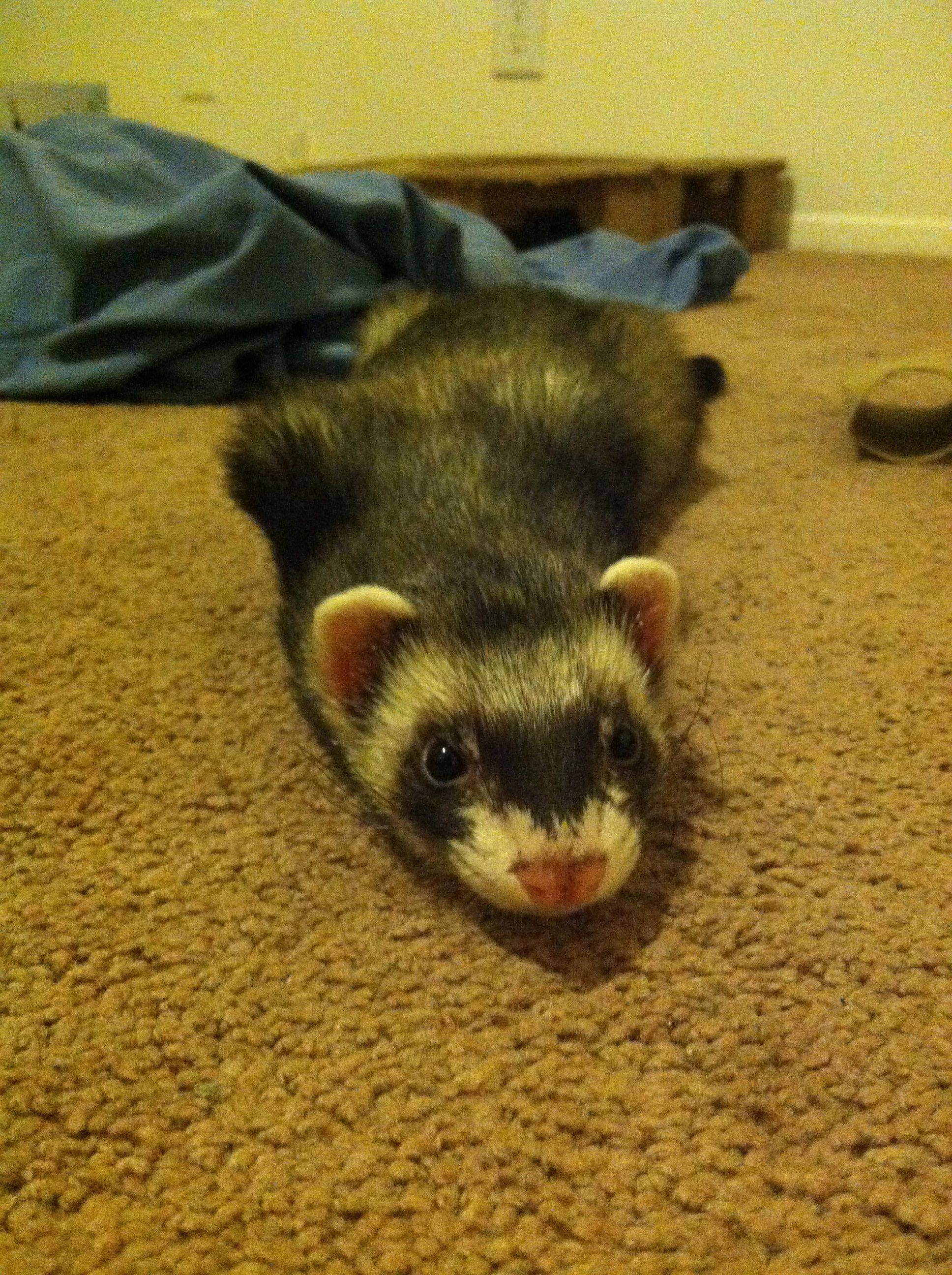 resting ferret