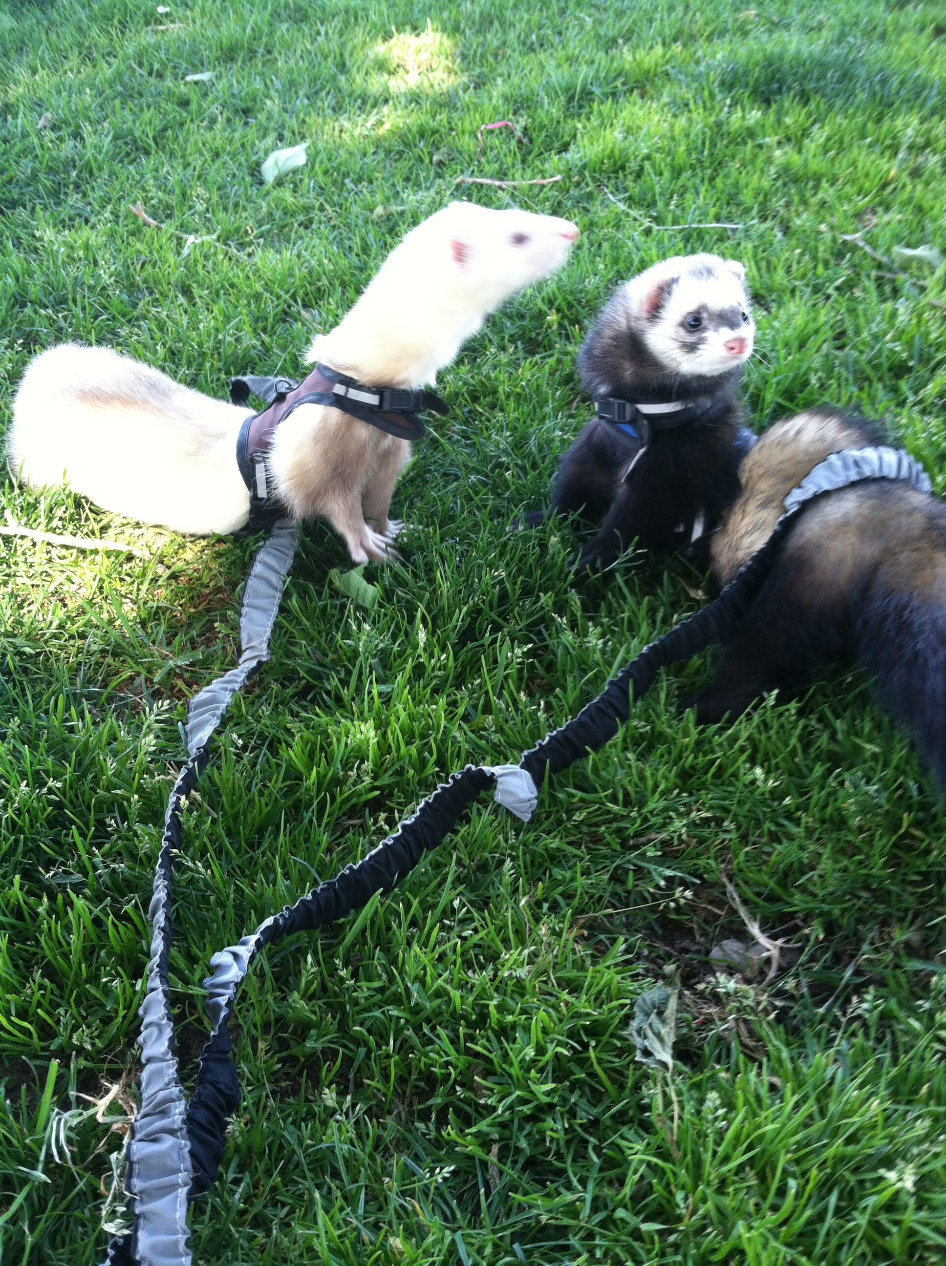 ferrets on grass