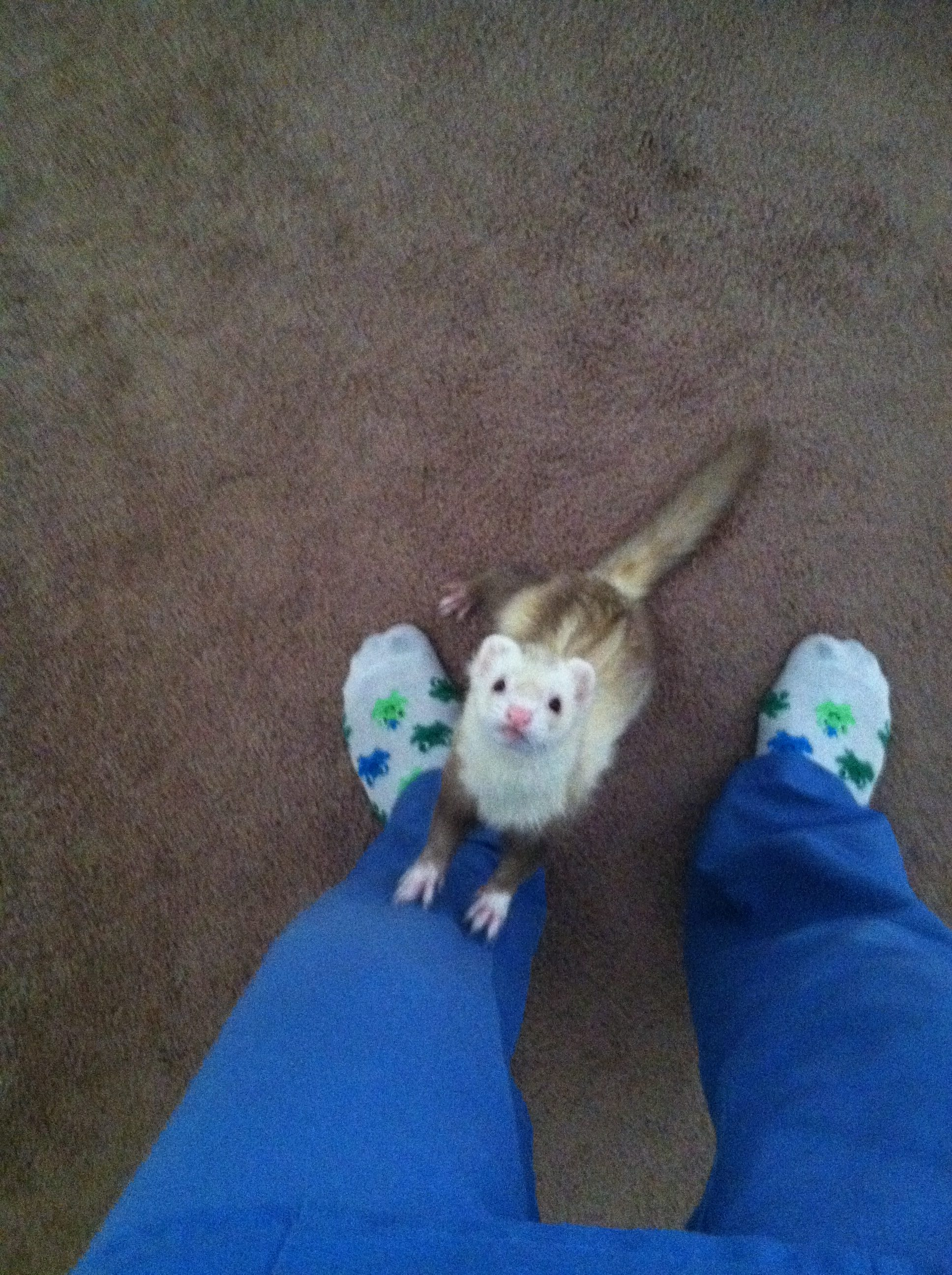 ferret at feet