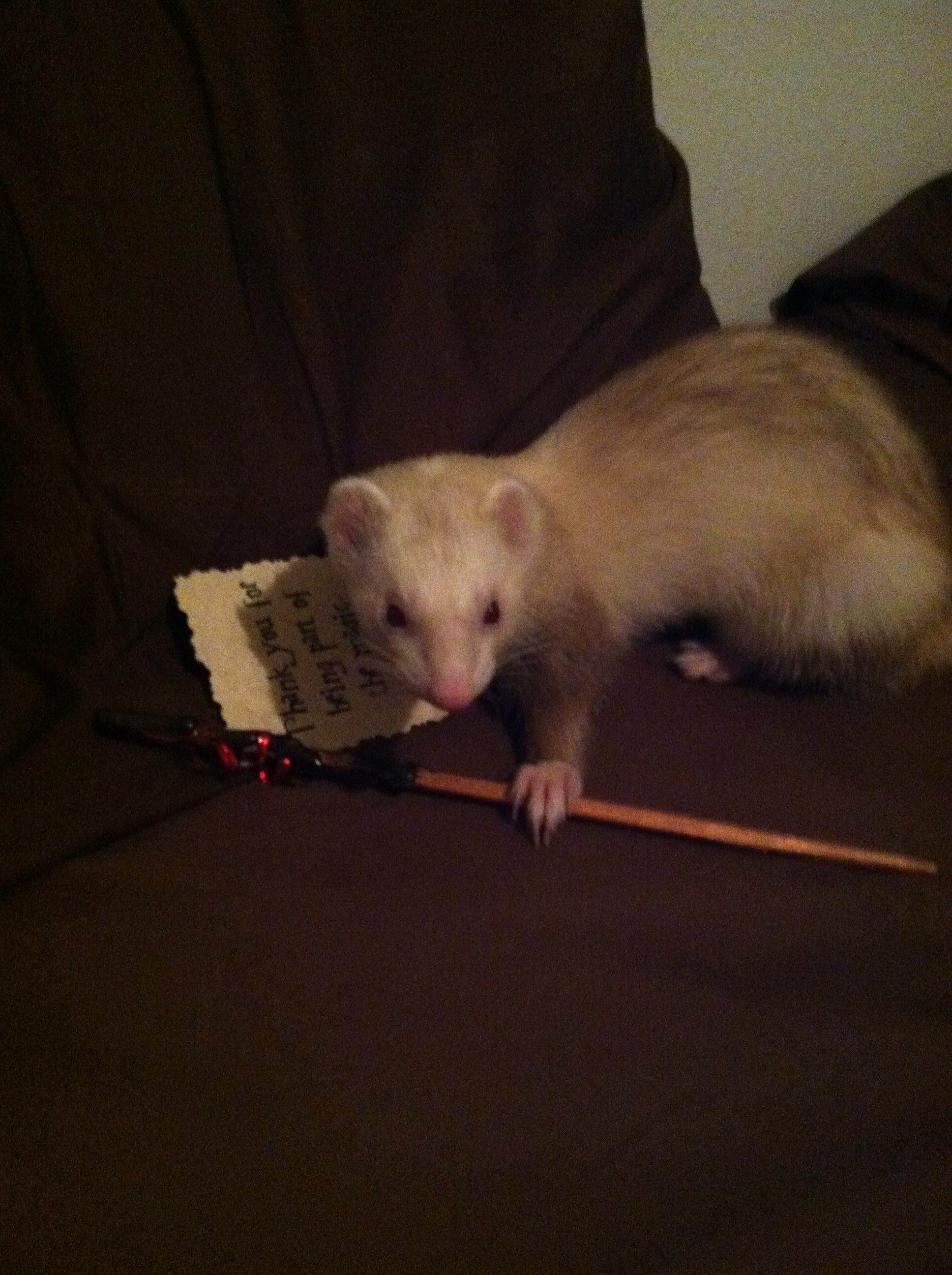 ferret playing